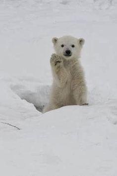 "Baby Polar Bear ""Hi!"""