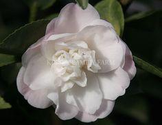 Cinnamon Scentsation Camellia lutchuensis hybrid. Kinsey Family Farm Gainesville, GA.