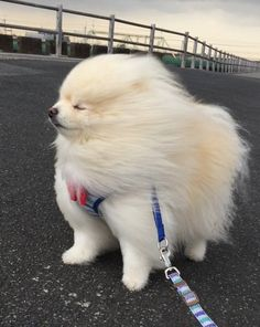 Cute Baby Animals, Animals And Pets, Funny Animals, Cute Pomeranian, Cute Animal Memes, Cute Dogs And Puppies, Cute Friends, Cute Creatures, Beautiful Dogs