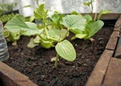 Remedios naturales contra las plagas en el huerto x elpulgón es recomendable una maceración de Ajenjo o de Ruda. Depositamos 350 grs de Ajenjo o de Ruda en 1 litro de agua y lo dejamos macerar durante 10 días.  ácaros realizaremos una decocción de ajo. Utilizaremos 15 gramos de ajo y 1 litro de agua realizamos la decocción y pulverizamos la plantas plantas 2 veces en 15 días.cochinillas utilizaremos orégano.  infusiones con orégano seco y luego pulverizaremos con esta infusión la planta.