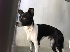 #A475128 Release date 11/4 Male, Approx 1 year  City of San Bernardino Animal Control-Shelter. https://www.facebook.com/photo.php?fbid=10203848455429385&set=a.10203202186593068&type=3&theater