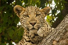 Looking at You - Wildlife Photographer Community This is another beautiful image of young leopard from Botswana by Simon Douglas, shared on  http://photos.wildfact.com, a website community for wildlife photographers only. To enjoy the image click below link to view in full mode, to join the community, see many other wildlife photographs and follow wildlife photographers http://photos.wildfact.com/image/552/looking-at-you  #Wildlife #WildlifePhotography #Photography #Botswana