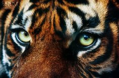 phototoartguy:  Eye of the Tiger by Esveeka