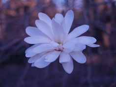 Royal Star magnolia flowers in late winter or early spring. Blooms are occasionally injured by frost or freeze.