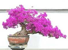 Pink flower #bonsai tree.......   ♣●Don't you love this beautiful #bonsai.♦ᴥ #BonsaiInspiration