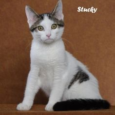 Stucky is an adoptable Domestic Short Hair-Black And White Cat in Indianapolis, IN. Little Stuckey is just a kitten and has lost his home. His owner had too many pets to care for. This guy is such swe...