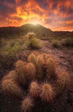 Strawberry Hedgehog Cactus near the White Tank Mountains west of Phoenix