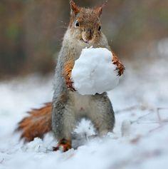 真冬に雪で戯れるリスの写真