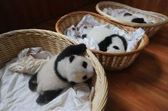 Sometimes the Internet provides beautiful things, including these tiny panda cubs—who range from one week to two months old—from the giant-panda breeding center in Ya'an, China. Click through to three more pictures that'll make you smile.