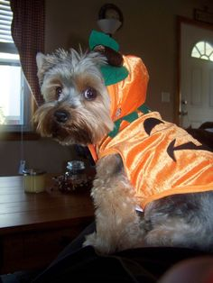 Yorkshire Terrior, Yorkie (Rocky the Pumpkin) , I like this pin because our