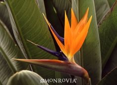 Along garage (instead of solid fence?). Bird of Paradise (Strelitzia reginae).