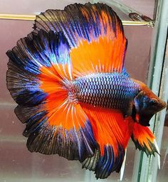 Betta fish are often considered to be among the heartiest sort of fish one can purchase, but great betta fish care is essential to a long and happy life. Pretty Fish, Beautiful Fish, Animals Beautiful, Betta Fish Types, Betta Fish Care, Colorful Fish, Tropical Fish, Aquariums, Freshwater Aquarium Fish