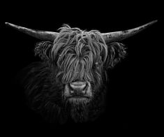 Hochlandrind II by Claudio Gotsch Highland Cow Tattoo, Highland Cow Art, Scottish Highland Cow, Highland Cattle, Bracelete Tattoo, Fluffy Cows, Buy Pictures, Baby Cows, Charcoal Art