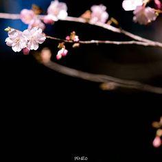 【penizo_photo】さんのInstagramをピンしています。 《家から10分の公園の河津桜、咲いてたのこれだけww 周りが竹林に囲まれてるので、黒バック作りやすくて助かる場所(*´艸`*) #桜 #河津桜 #春 #cherryblossom #黒バックは大人の魅力 #カメラ好きな人と繋がりたい  #写真撮ってる人と繋がりたい  #写真好きな人と繋がりたい  #ファインダー越しの私の世界  #東京カメラ部  #IGersJP #Far_EastPhotoGraphy #pics_jp #as_archive #jp_gallery  #ptk_japan  #superb_flowers #whim_fluffy #wp_flower #phx_flowers #rainbow_petals #Petal_Perfection #ip_connect #insta_pick_blossoms #tv_flowers #bns_flowers #Favv_flowers #eye_spy_flora》