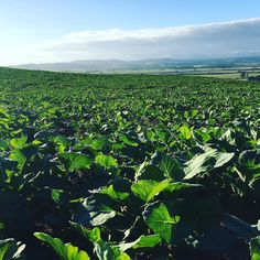 Winter crop is looking great after the recent rainfall. More sun now please! #farmingnz #ravensdown #crop #kale #dairyforlife by gregor.ramsay