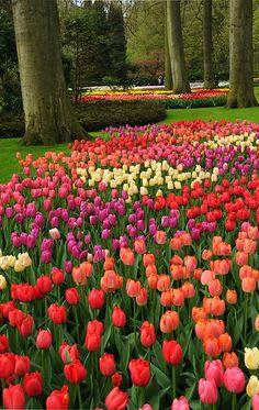 """Tiptoe through the tulips!"" Tulips everywhere: orange tulips, red tulips, yellow tulips, purple tulips, pink tulips!"