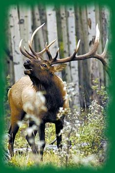 Colorado Bull Elk..Bucket List!! <3 hb