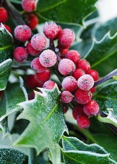This year's bumper crop means plenty of magical home-grown Christmas decorations Christmas Holly Tree Magical Christmas, Noel Christmas, Winter Christmas, Vintage Christmas, Christmas Candles, Christmas Berries, Christmas Plants, Father Christmas, Christmas Christmas