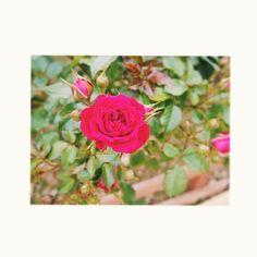 2016.05.05 こどもの日 帰りの福山SAにて #薔薇のまち福山らしいー #次はじょんに会いに行こう