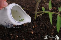 how to plant tomatoes-tips Growing Tomatoes In Containers, Tomato Plants, Family Meals, Tableware, Gardening, Tudor, Solar, Tips, Recipes
