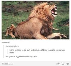 Lions are awesome this is made me love them more
