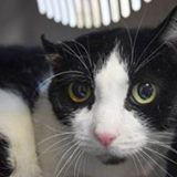 PLEASE SHARE! CAT - 24600 - Brooklyn Cat is a black and white cat that the owner received from a friend around 8 years ago. He is being surrendered due to the owner's health. Cat has an aural mass that would require surgery.  ... See More CAT – 24600 Cat is a black and white cat that the owner received from a friend around 8 years ago. He is being surrendered due to the owner's health. Cat has an aural mass that would require surgery. nyccats.urgentpodr.org