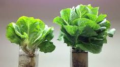 Fujitsu is selling lettuce grown in a computerized clean room in the same sterile environment required for chip manufacturing.