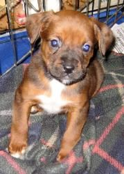 New Arrivals - Boxer Babies is an adoptable Boxer Dog in Bethel, OH. My name is Dell and I am a spokespuppy for seven little Boxer babies. We were born in a warm cat box on a nice man's porch in Dece...