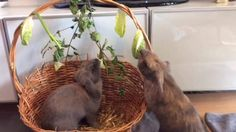 A nice enrichment idea for your buns https://www.facebook.com/stephan.zehren.7/videos/1629763620607513/