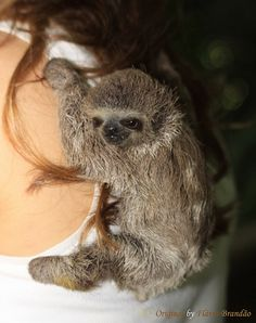 (Bradypus infuscatus) - Absolutely Adorable Brown-throated Sloth by Flávio Cruvinel Brandão