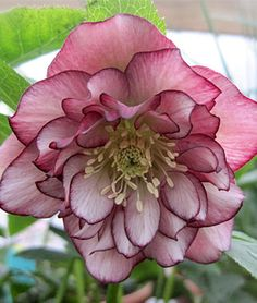 A double Hellebore. (Double Ellen Picotee) One of my favourite flowers ~ Winter Rose Exotic Flowers, Amazing Flowers, Beautiful Flowers, Shade Garden, Garden Plants, Lenten Rose, Christmas Rose, Shade Plants, Dream Garden