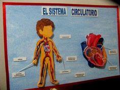 Sistema circulatorio.
