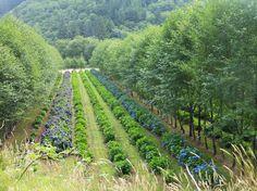 Hydrangea Nursery Tillamook Oregon