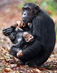 Baby chimp, at a national park in Tanzania, East Africa.