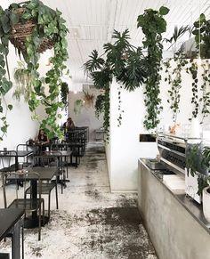 café plants