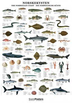 Plakat av norskekystens dyreliv under vann | Plukkselv.no - nettbutikk for sankeentusiasten
