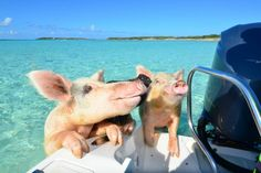 Bahamas: Exuma – Swimming with Pigs. Photo credit: ©The Islands Of The Bahamas. Pig Island Bahamas, Pig Beach Bahamas, Baby Animals, Cute Animals, Animal Fun, Swimming Pigs, Cute Piglets, Cruise Excursions, Dolphins