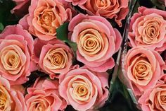 Miss Piggy pink roses at New Covent Garden Flower Market - August 2015 Rose Garden Design, Pink Garden, Flowers Garden, Amazing Flowers, Beautiful Flowers, New Covent Garden Market, Wedding Reception Flowers, Wedding Colours, Flower Box Gift