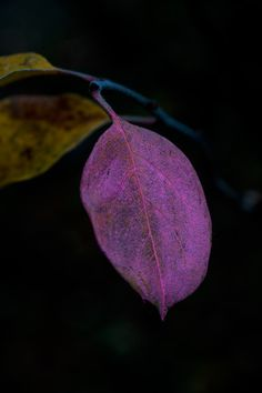 The Studio Garden: pink cydonia oblonga leaf