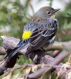 A favorite migratory bird that visits our backyard - the yellow rumped warbler.  These little birds feed on bugs in the trees.  The bright yellow spot on the back makes it stand out.