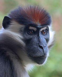 1000+ images about Monkeys on Pinterest | Capuchin Monkeys, Monkey ...