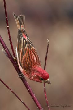 This might be what I'm hearing and seeing in our yard....A53F1641-Edit Purple Finch (male) by ~ Michaela Sagatova ~, via Flickr