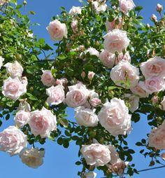 Ruža popínavá ´NEW DAWN´ 15-20 cm, kont. 1l