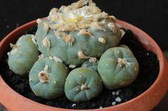 Lophophora lutea