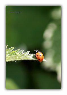ladybug or a ladybird, you decide!
