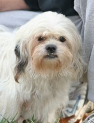Trixie is an adoptable Maltese Dog in Matthews, NC. Trixie is 12 years old now and came to S.A.F.E. Animal Haven after she was found wandering a busy residential street. She was wearing a collar with ...