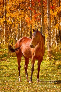 Beautiful horse In the Autumn Aspen Colors by James Bo Insogna