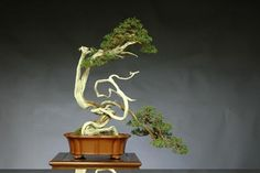 Juniperus chinensis by Mario Komsta. Chuhin 46 cm. Pot: Chinese