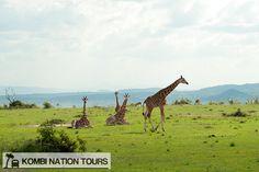 Giraffes! For more information on Uganda's National Parks and Reserves, please visit our website.