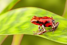 Summer Young - poison dart frog images and pictures - 1920x1280 px